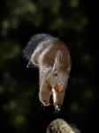 Squirrel - Jump