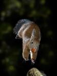 Squirrel - Jump