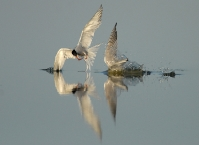 Terns fishing