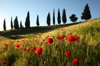 Poppies and cypress trees at Poggio ai Frati