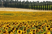 Sunflowers near Pianella