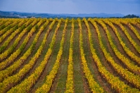 Vineyards in Chianti countryside