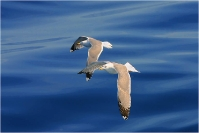 Flying over the Tuscan sea - Seagulls