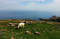 Goats on Capraia- Island of goats