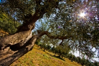 Tuscan olive tree in Maremma Park