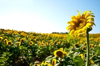 Sunrise-Tuscany Sunflowers