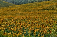 Tuscany Sunflowers - Arezzo countryside
