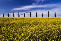Cypresses in Tuscany countryside