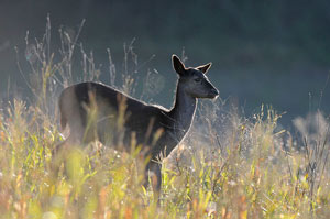 Fallow deer in Era valley by Alessandro Salvini